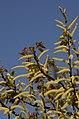 Salix tetrasperma Indian Willow tree from Anaimalai Tiger Reserve JEG1555.JPG