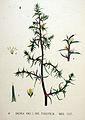 Salsola kali — Flora Batava — Volume v20.jpg