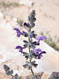 Salvia lanigera 1