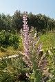Salvia sclarea-Sauge sclarée-20150605.jpg