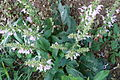Salvia sclarea Nachal Kziv 1.jpg