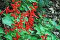 Salvia splendens (scarlet sage) 1 (49081380101).jpg