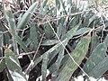 Sansevieria sp. Mape 7 (6849960833).jpg