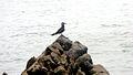 Santa María del Marm, Peru - Seagull.jpg