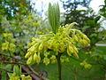 Sassafras albidum flower.jpg