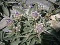 Saussurea alpina ssp depressa 01.jpg
