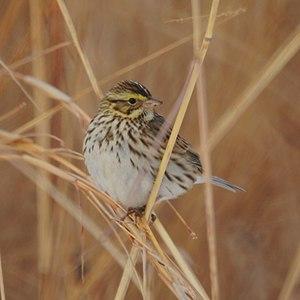Pohatcong Township, New Jersey - Savannah Sparrow near Carpentersville