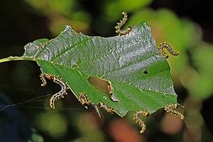 Sawfly - Larvae of Nematus miliaris
