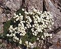 Saxifraga tombeanensis 1.jpg