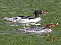 Scaly-sided Merganser RWD.jpg