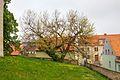 Schildau Maulbeerbaum Fruehjahr.jpg