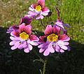 Schizathus litoralis (8705522669).jpg