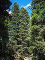 Schneeberg-pinewood48.jpg