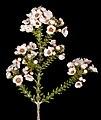 Scholtzia parviflora - Flickr - Kevin Thiele.jpg