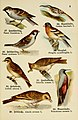 Schreibers kleiner Atlas der einheimischen Vögel (Pl. 5) (6076858278).jpg