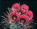 Sclerocactus polyancistrus in cultur B.jpg