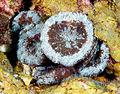 Scolymia cubensis, grupo de pólipos.jpg