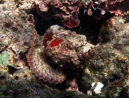 A humpbacked scorpionfish