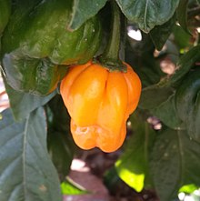 Scotch bonnet chili pepper.jpg