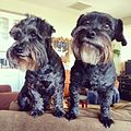 Scotty and Scrappy, Schnoodle Dogs.JPG