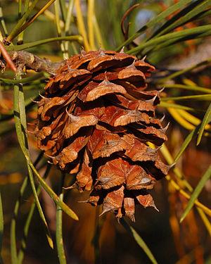 Pinus virginiana - Image: Scrub Pine Pinus virginiana Cone Closeup 2000px