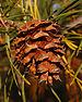 Scrub Pine Pinus virginiana Cone Closeup 2000px.jpg