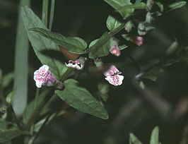 Scutellaria minor2 eF.jpg