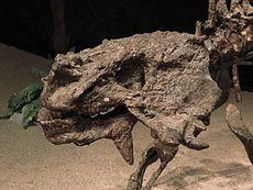 scutosaurus skeleton  Cranio di Scutosaurus k...