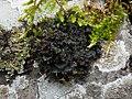 Scytinium gelatinosum 501553.jpg