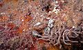 Sea Slug Phyllodesmium briareus (7970529088).jpg