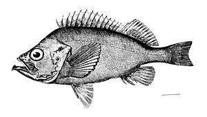 Scorpaeniformes - Sebastidae: Ocean perch, Sebastes marinus