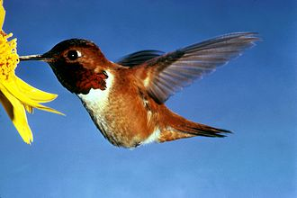Zoophily - A rufous hummingbird (Selasphorus rufus) is attracted to brightly colored flowers and assists the pollination of the plant.