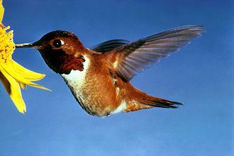 Rufous hummingbird - Adult male
