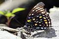 Sephisa chandra androdamas female ventral view 20141019.jpg
