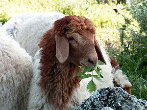 Awassi - An Awassi lamb in Israel