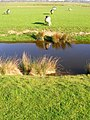 Sheep and drainage channel at Appledore, Kent.jpg