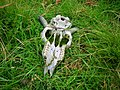 Sheep skull - geograph.org.uk - 506849.jpg