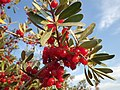 Shepherdia argentea — Matt Lavin 009.jpg