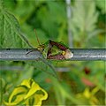 Shieldbug aka Stinkbug - Banasa dimiata (2661313318).jpg