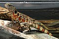 Shinisaurus crocodilurus - Tiergarten Schönbrunn 2.jpg