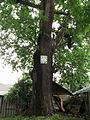 Shurun Quercus1.JPG