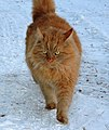 Siberian cat walking in snow.jpg