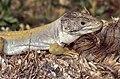 Sierra Nevada Lizard (Timon nevadensis) male (found by Jean NICOLAS) (35753226994).jpg