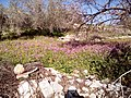 Silene aegyptiaca flowers from kdumim 2019 03.jpg