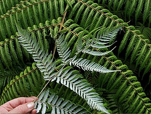 Cyathea dealbata - Frond, showing silver underside
