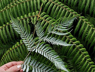 National symbols of New Zealand - Frond, showing silver underside