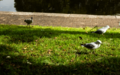 Silver Gulls and Australian White Ibis.png