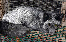 Silver fox.jpg