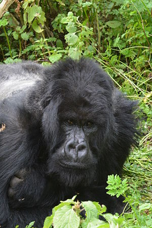 Mountain gorilla - Silverback of Ntambara group, in typical resting attitude.