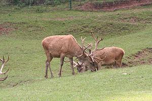 Südliche Weinstraße Wildlife Park - Image: Silz cerf 18